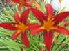 2reddishlilies